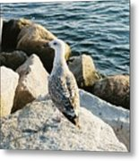 Narragansett Gull Metal Print