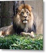 National Zoo - Luke - African Lion Metal Print