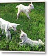 Newborn Goats Metal Print