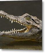 Nile Crocodile Metal Print