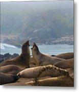 Northern Elephant Seals Mirounga Angustirostris Metal Print