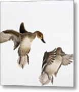 Northern Pintail Anas Acuta Duck Metal Print
