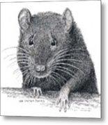 Norway Rat Metal Print