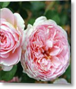 Old Fashioned Rose Metal Print
