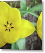 One And A Half Yellow Tulips Metal Print
