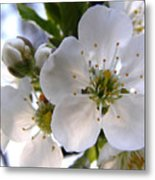 Opening Act -  Cherry Blossoms Metal Print