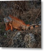 Oranage Iguana Metal Print