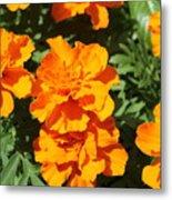 Orange Marigolds In Bloom Metal Print