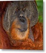 Orangutan Male Metal Print