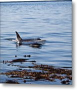 Orca Whales In The San Juan Islands Metal Print