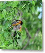 Orchard Oriole Feeding The Kids Metal Print