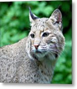 Oregon Bobcat Metal Print