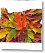 Oregon Maple Leaves Mixed Fall Colors Background Metal Print