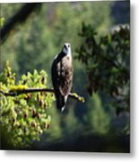 Osprey On Branch Metal Print