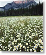 Ox-eyed Daisies And Cascade Mountain Metal Print