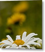 Ox Eyed Daisy Metal Print