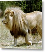 Papa Lion On The Prowl Metal Print
