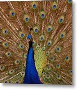 Peacock 01 Metal Print