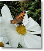 Peacock Butterfly On Cosmos Metal Print