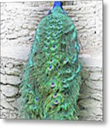 Peacock Fluffy Tail Color Sketch Metal Print