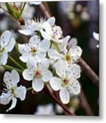 Pear Tree Blossoms II Metal Print