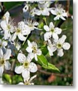Pear Tree Blossoms Iv Metal Print