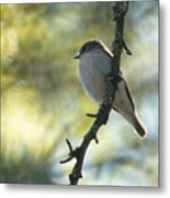 Pied Flycatcher 1 Metal Print