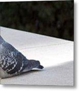 Pigeon 0593 Metal Print