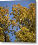 Pin Oaks In The Fall No 1 Metal Print