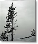 Pine In Snow Metal Print
