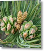 Pine Tree Seeds Metal Print