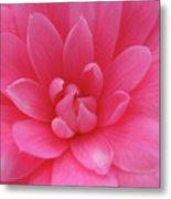 Pink Camellia Metal Print