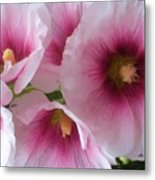 Pink-faced Hollyhocks Metal Print