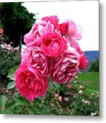 Pink Floribunda Roses Metal Print