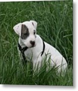 Pit Bull Puppy 5 White With Patch Metal Print