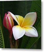 Plumeria Bloom Metal Print