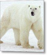 Polar Bear Ursus Maritimus Male Metal Print