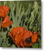 Poppies 1 Metal Print