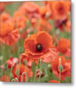 Poppies H Metal Print