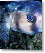 Portrait Of A Freckled Porcupinefish Metal Print