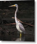 Portrait Of A Tri-colored Heron Metal Print