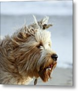 pr 210 - The Shaggy Dog Metal Print