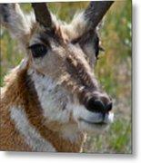Pronghorn Buck Face Study Metal Print