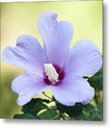 Purple Althea Metal Print by Kenneth Albin