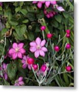 Purple Clematis And Rose Campion Metal Print