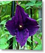 Purple Clematis Henryi Metal Print