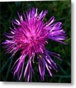 Purple Dandelions 4 Metal Print