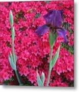 Purple Iris In Pink 2  Metal Print