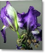 Purple Iris Water Drops Metal Print