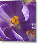 Purple Spring Crocus Metal Print
